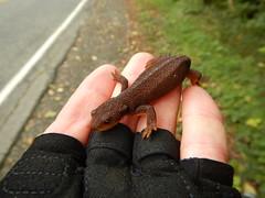 Rough-skinned newt (Taricha granulosa), Concrete, WA_2