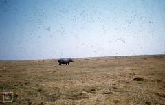 Hippos on marshy flats. Kafue reserve.
