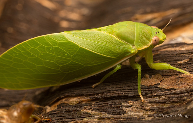 Freshly emerged katydid
