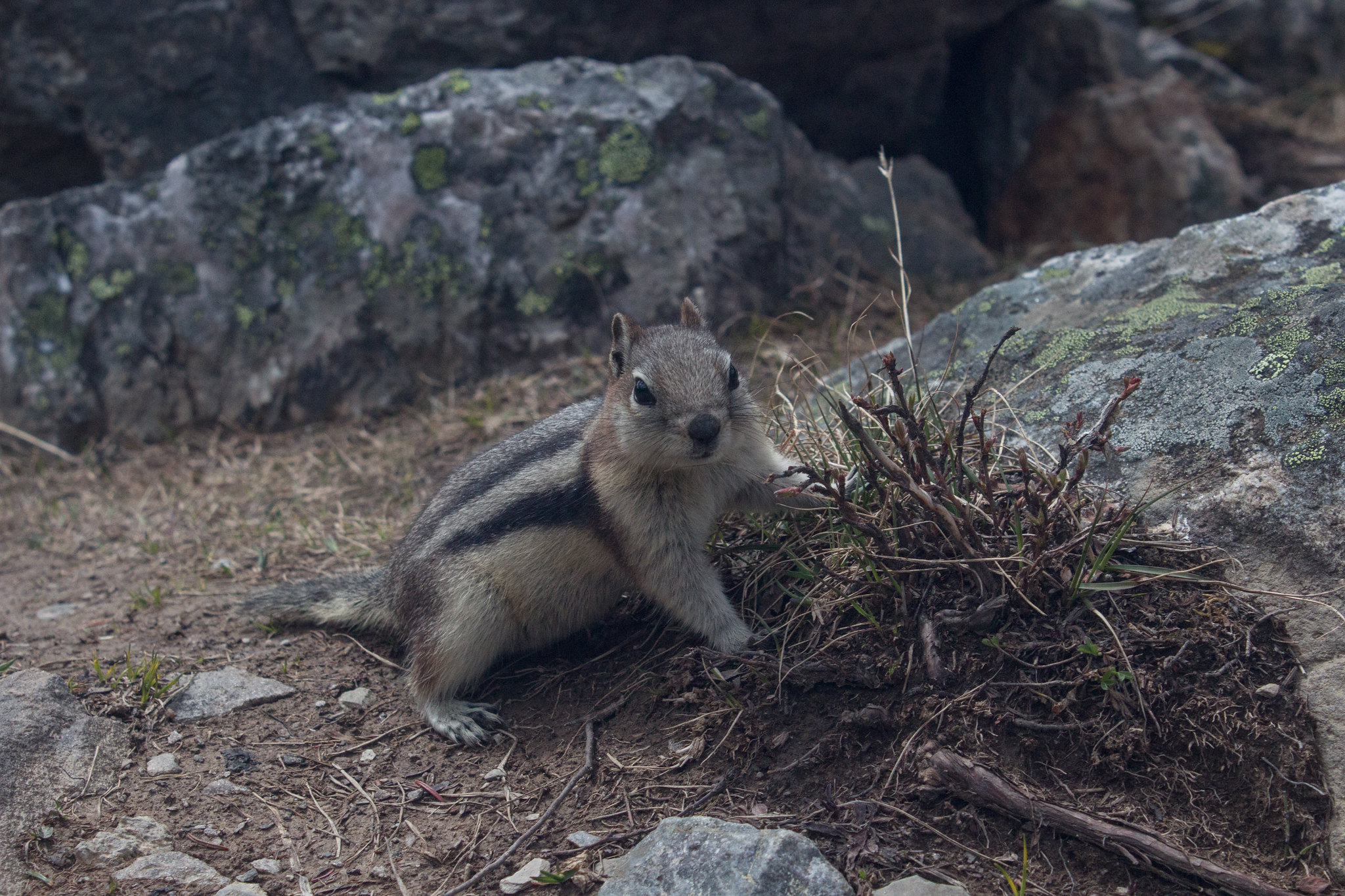 Ground squirrel near consolation lakes