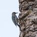Gila woodpecker por apmckinlay