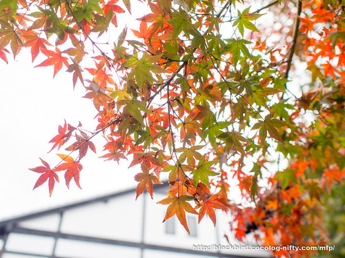 Autumn Leaves 20171107 #06