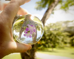 Crystal ball orchid