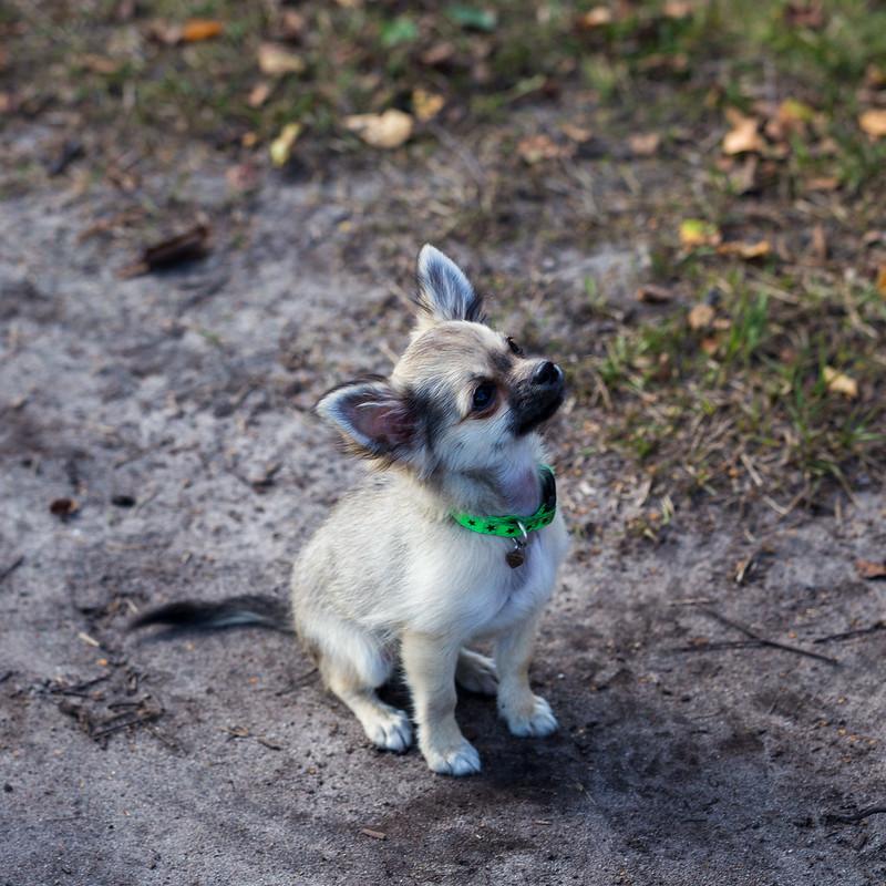 12 week old Chihuahua pup
