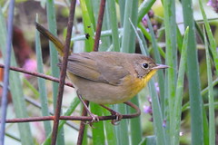 Common Yellowthroat, Greenbelt Community Garden