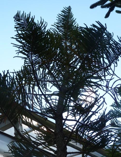 Araucaria scopulorum 37668560431_0876f7eb6b_o