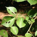 Dalbergia sissoo leaves