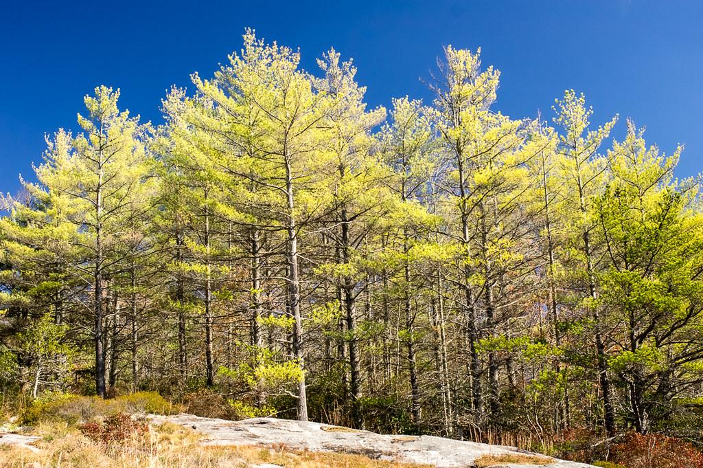 Little Green Mt top (pine trees)
