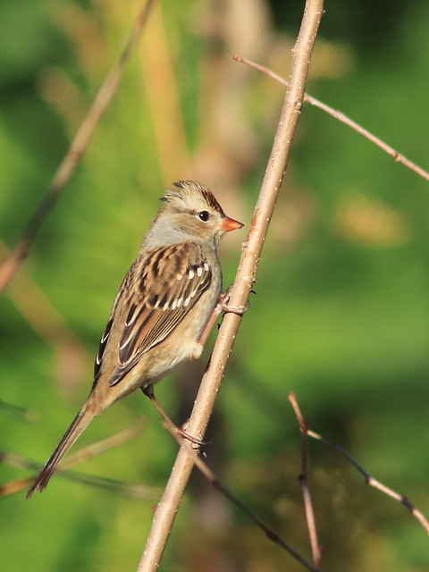 White-crowned Sparrow immature 20171009