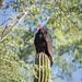 Turkey vulture por apmckinlay