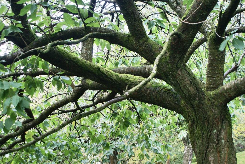 Peut être un cerisier dans le Kelvingrode park à Glasgow.