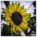 Day 275/365 2017-10-02 Sunflower