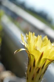 DSC_6257 Echinopsis eyriesii エキノプシス 黄花短毛丸