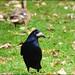 Corvus frugilegus  Rook.