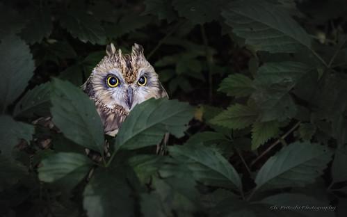 Hibou des marais / Short-eared Owl / Asio flammeus