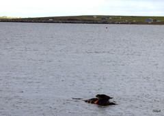 Common Seal Posing Near A Churchill Barrier