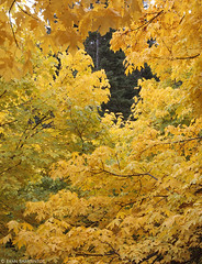 Bigleaf Maple Fall Foliage