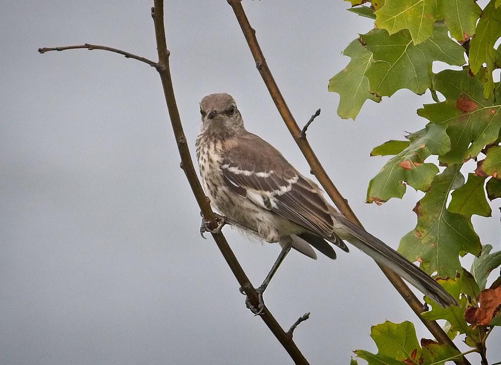 Young Mockingbird