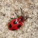 Handsome Fungus Beetle - Endomychus coccineus