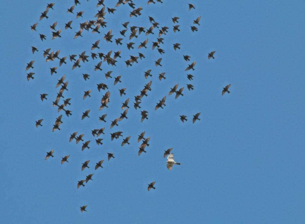 Cooper's hawk chasing starlings
