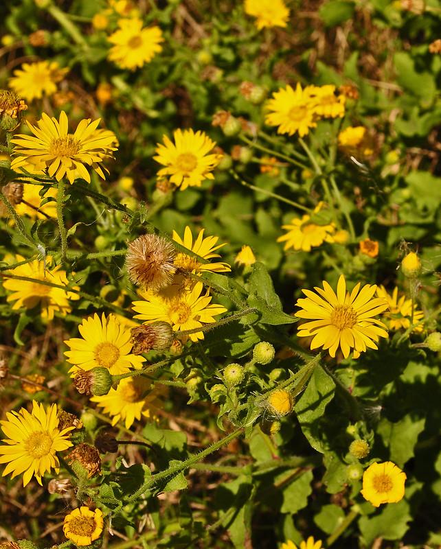 Heterotheca subaxillaris (Camphorweed) (2)