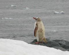 cuverville island leukistic penguin antarctica