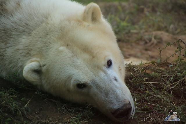 Eisbär Fiete im Sosto Zoo 01.10.2017 112