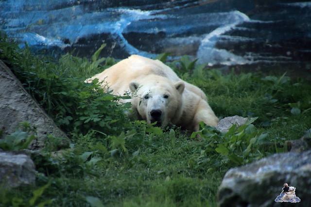 Eisbär Fiete im Sosto Zoo 01.10.2017 105