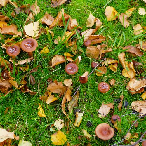 Funnel cap mushrooms, Bantock Park