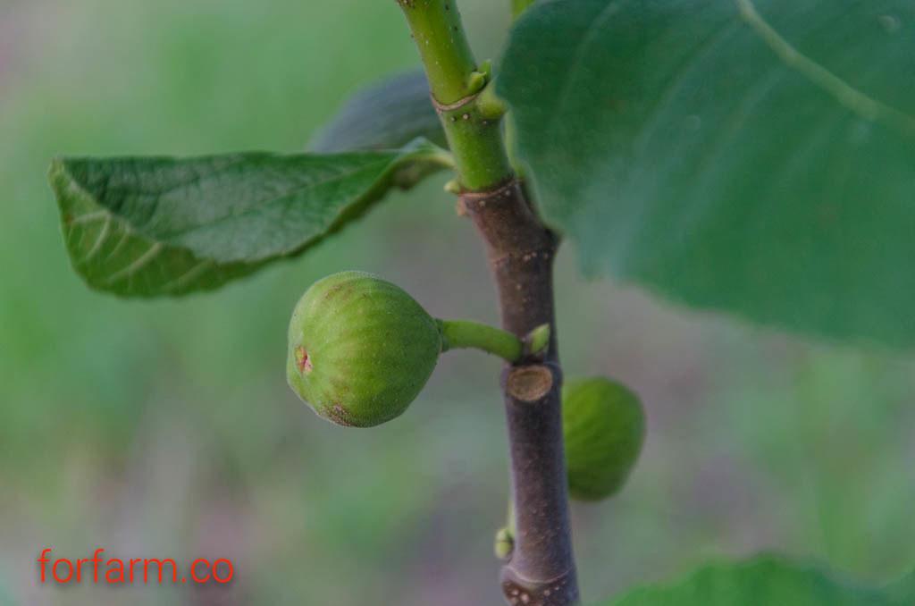 ปลูกมะเดื่อฝรั่งเชิงการค้า สามารถขายได้ทั้งผลสดและกิ่งพันธุ์