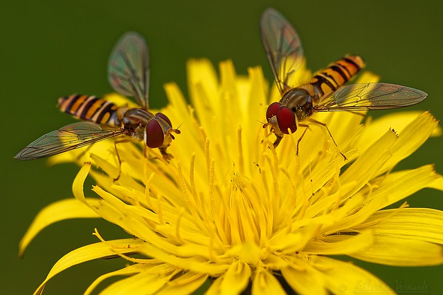 The feast of hoverflies - Le festin des syrphes
