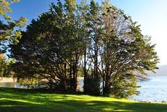 Bouquet de 'mountain beech', à Te Anau, sur la rive du lac.