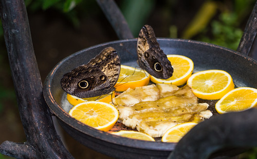 Feeding On Oranges