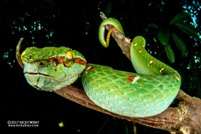 Wagler's pit viper (Tropidolaemus wagleri) - DSC_1281
