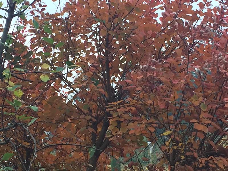 European Smoketree