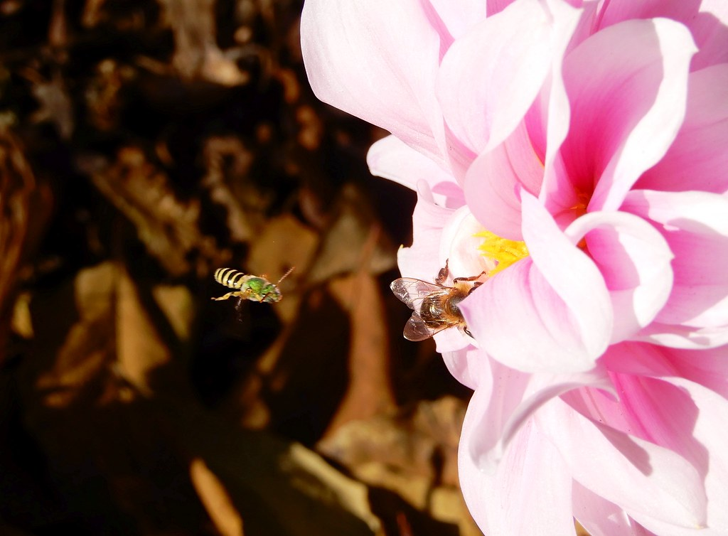 Sweat Bee and Bee