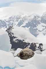 Weddell Seal Napping