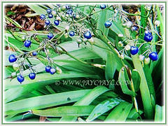 Dianella ensifolia (Umbrella Dracaena, Flax Lily, Common Dianella, Sword-leaf Dracaena, Cerulean Flax-lily, Siak-Siak in Malay) with globose, shiny and deep blue fruits, 6 Oct 2017