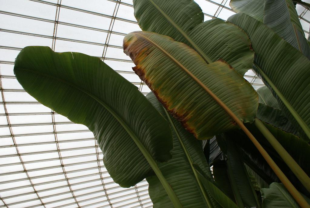 Bananier et géométrie au jardin botanique de Glasgow.
