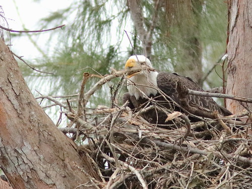 Bald Eagle female Jewel on nest 02-20171025