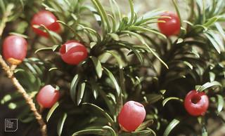 Taxus baccata fastigiata Irish yew, Dyffryn, Cynon, October 1984