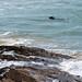 Seal Harlyn Bay Padstone Cornwall