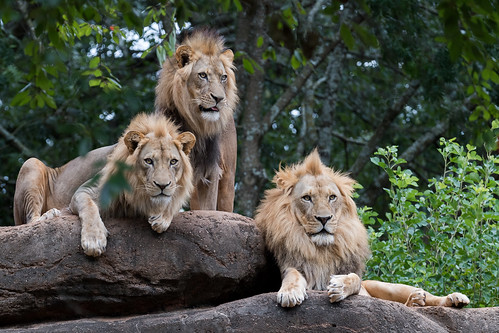 Three Lions on a Rock