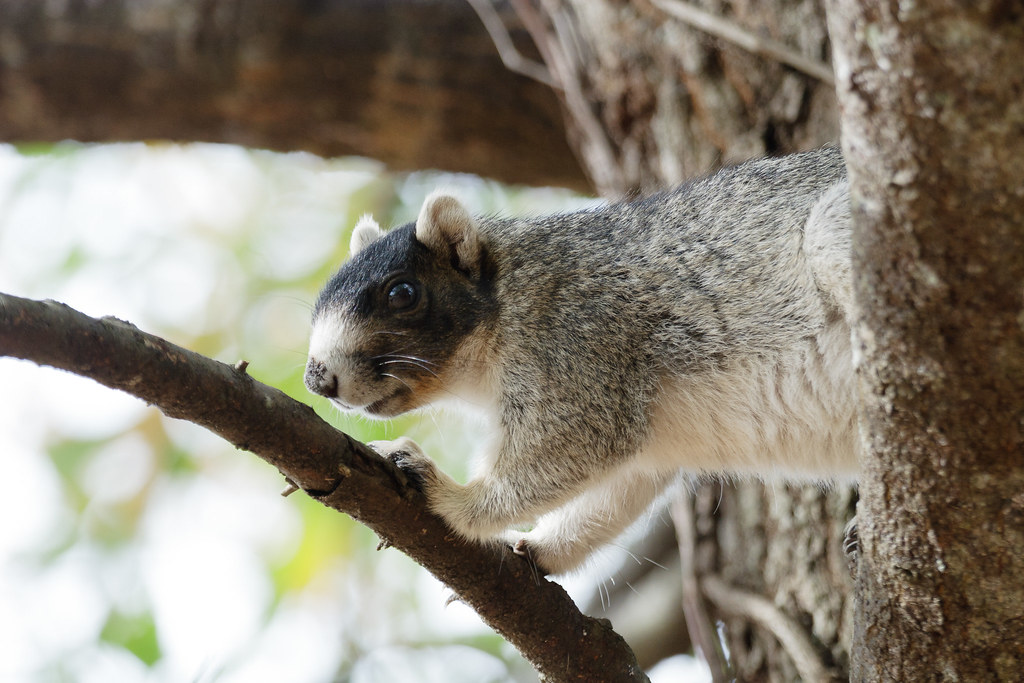 A black-and-white eastern fox squirrel perches in a tree in South Carolina