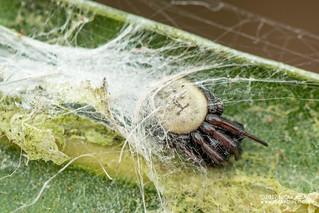 Orb weaver spider (Araneidae) - ESC_0280