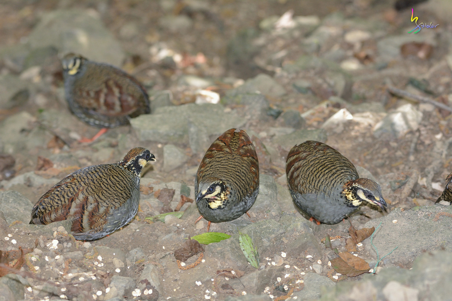 Taiwan_Hill_Partridge_5766