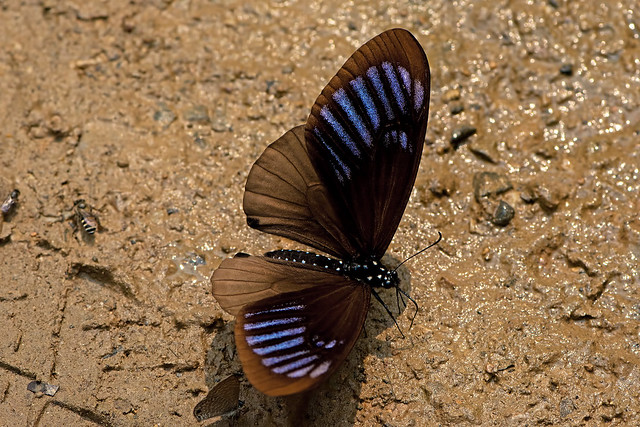 Papilio slateri - the Blue-striped Mime
