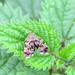 Anthophila fabriciana Common Nettle-tap Moth
