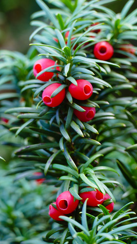 """Autumn colours: yew """"berries"""" ripening"""