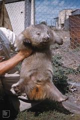Male Flinders Island wombat run down by Derek Smith, baker for zoo or reserve. Flinders 58